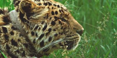 Лео80. История одного леопарда