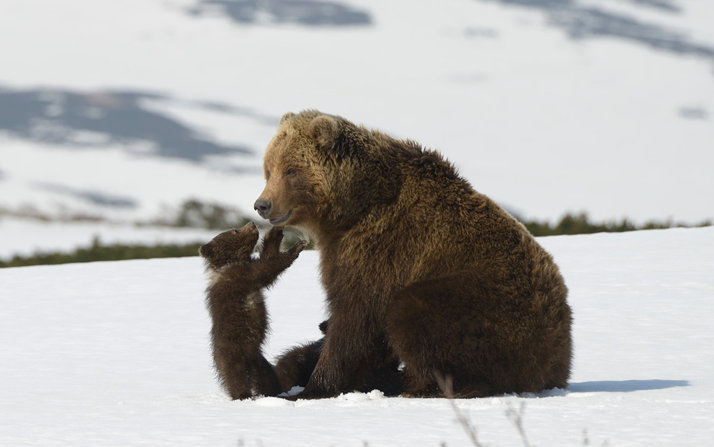 Kamchatka Bears. Life begins di Vladislav Grishin e Irina Zhuravleva